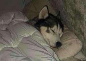 哈士奇为什么老是睡觉