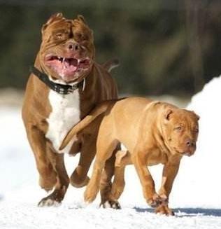 世界猛犬之最比特犬  比特犬的特征